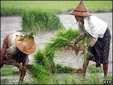 Farmers in the Irrawaddy delta normally provide two-thirds of Burma's rice harvest. Photo: AFP