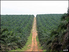 Palm oil is one of the biofuels stirring controversy. Photo: AFP