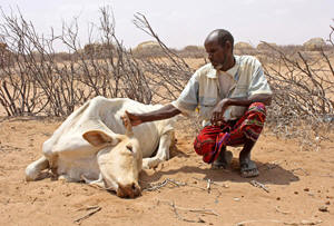 Abdille Muhamed with his dead cow Photo: Jaspreet Kindra/IRIN